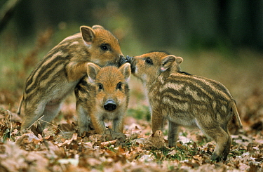 Wild Boar (Sus scrofa) three piglets playing, Europe  -  Duncan Usher
