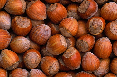 Hazelnut (Corylus avellana) group, Europe  -  Duncan Usher