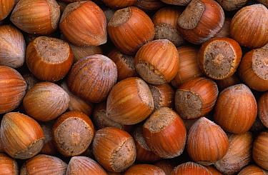Hazelnut (Corylus avellana) group, Europe  -  Duncan Usher