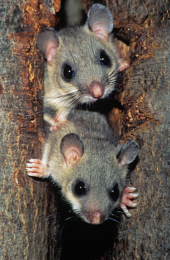 Fat Dormouse (Glis glis) two adults peering out from a hole in a tree trunk, Europe  -  Duncan Usher