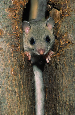 Fat Dormouse (Glis glis) adult peeking out from hole in a tree trunk, Europe  -  Duncan Usher