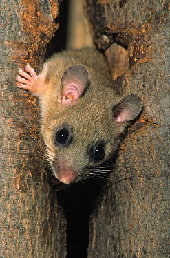 Fat Dormouse (Glis glis) adult peering out from hole in a tree trunk, Europe  -  Duncan Usher