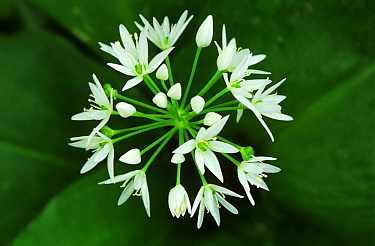 Wild Garlic (Allium ursinum) flowering in the spring, medicinal plant, Europe  -  Flip de Nooyer