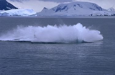 Humpback Whale (Megaptera novaeangliae) landing in water after breach, Antarctica  -  Flip de Nooyer