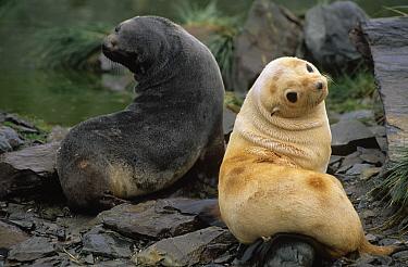 Antarctic Fur Seal (Arctocephalus gazella) juvenile brown and blonde morphs, South Georgia Island  -  Flip de Nooyer