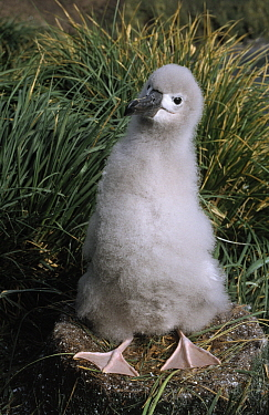 Grey-headed Albatross (Thalassarche chrysostoma) chick on nest, Antarctica  -  Flip de Nooyer