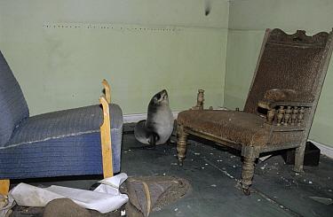 Antarctic Fur Seal (Arctocephalus gazella) inside building at abandoned whaling station, Antarctica  -  Flip de Nooyer