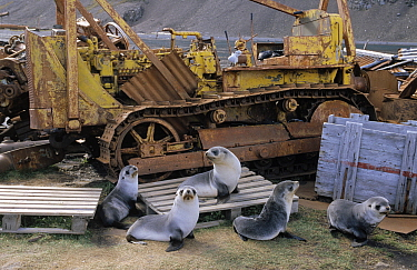 Antarctic Fur Seal (Arctocephalus gazella) group amid pallets and machinery at abandoned whaling station, Antarctica  -  Flip de Nooyer
