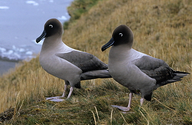 Light-mantled Albatross (Phoebetria palpebrata) pair, Antarctica  -  Flip de Nooyer