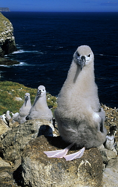 Black-browed Albatross (Thalassarche melanophrys) chicks on tower nests, South Georgia Island  -  Flip de Nooyer