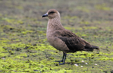 Great Skua (Catharacta skua) adult portrait, Antarctica  -  Flip de Nooyer