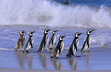 Magellanic Penguin (Spheniscus magellanicus) group walking in a line on beach in front of a crashing wave, Antarctica  -  Flip de Nooyer