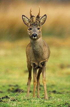 Western Roe Deer (Capreolus capreolus) shedding velvet  -  Flip de Nooyer