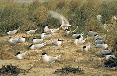 Sandwich Tern (Thalasseus sandvicensis) flock nesting on ground, Europe  -  Flip de Nooyer