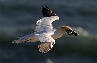 Northern Gannet (Morus bassanus) flying with nesting material, Canada  -  Flip de Nooyer