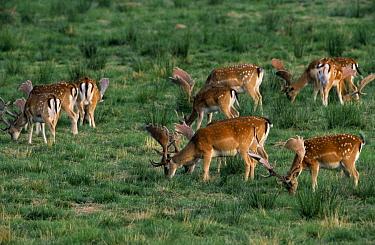 Fallow Deer (Dama dama) herd grazing, Europe  -  Flip de Nooyer