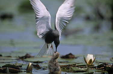 Black Tern (Chlidonias niger) parent feeding young amid lily pads while flying, Europe  -  Flip de Nooyer