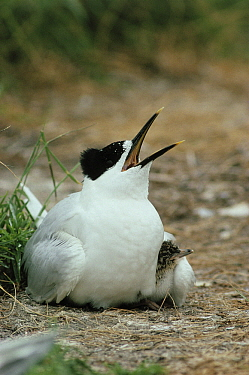 Sandwich Tern (Thalasseus sandvicensis) parent with chick tucked safely under its wing, Europe  -  Flip de Nooyer