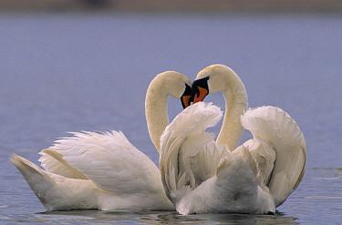 Mute Swan (Cygnus olor) courting pair on lake, Europe  -  Flip de Nooyer