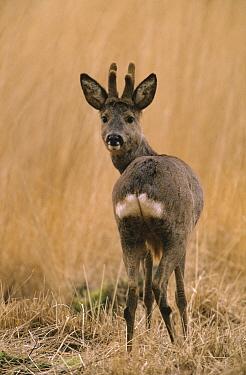 Western Roe Deer (Capreolus capreolus) adult looking back over its shoulder, Europe  -  Flip de Nooyer
