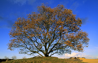 English Oak (Quercus robur) in autumn, Europe, Asia and north Africa introduced into North America. Sequence 3 of 4  -  Flip de Nooyer