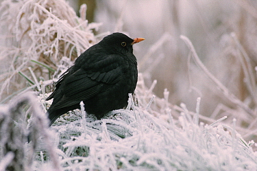 Eurasian Blackbird (Turdus merula) adult perched on frosted grass, Europe  -  Flip de Nooyer
