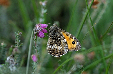 Grayling (Hipparchia semele) butterfly on purple flower, Europe  -  Flip de Nooyer