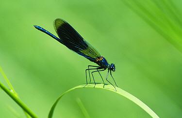 Banded Demoiselle (Calopteryx splendens) damselfly, on a blade of grass, Europe  -  Flip de Nooyer