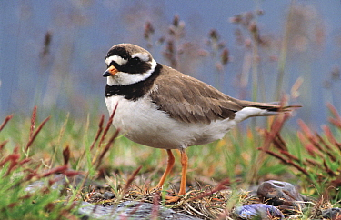 Common Ringed Plover (Charadrius hiaticula) adult portrait, western Europe  -  Flip de Nooyer