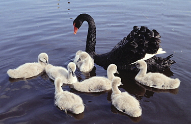 Black Swan (Cygnus atratus) parent swimming with seven white cygnets, Europe  -  Flip de Nooyer