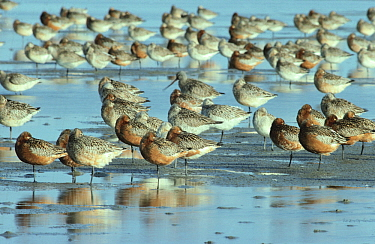 Black-tailed Godwit (Limosa limosa) flock resting in estuary at high-tide, Europe  -  Flip de Nooyer