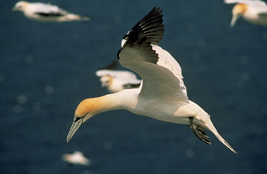 Northern Gannet (Morus bassanus) individual looking for a spot to land among nesting colony, Canada  -  Flip de Nooyer