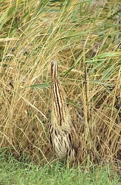 Great Bittern (Botaurus stellaris) adult camouflaged among wetland grasses, Europe  -  Flip de Nooyer