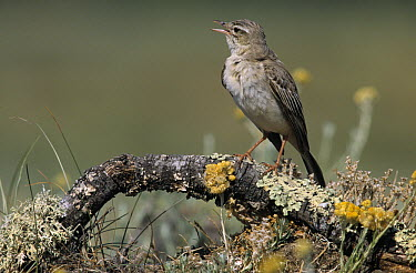 Tawny Pipit (Anthus campestris) adult singing from perch, Europe  -  Frits van Daalen/ NiS