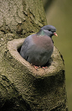 Stock Dove (Columba oenas) adult emerging from nest hole in tree, Europe  -  Frits van Daalen/ NiS