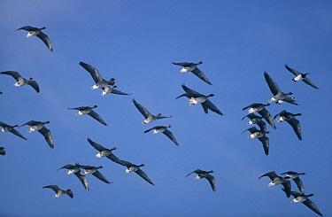 Bean Goose (Anser fabalis) flock flying, Europe  -  Frits van Daalen/ NiS