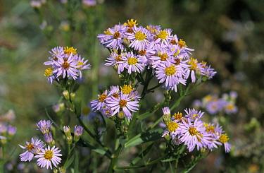Sea Aster (Aster tripolium) flowers covered in dew, grows in saline environment, North America and Europe  -  Frits van Daalen/ NiS