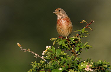 Linnet (Acanthis cannabina) male sitting on branch, Europe  -  Frits van Daalen/ NiS
