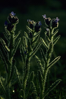 Small Bugloss (Anchusa arvensis) budding, native to Europe, introduced to North America where it can be a weedy pest to agricultural crops  -  Frits van Daalen/ NiS