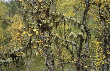 English Beard Lichen (Usnea subfloridana) hanging from tree branches, Europe  -  Gerard de Hoog/ NiS