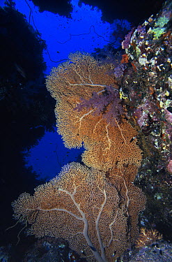 Common Sea Fan (Gorgonia ventalina) on coral reef, Caribbean  -  Hans Leijnse/ NiS