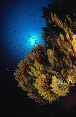 Sea Fan (Eunicella cavolinii) underwater, Atlantic Ocean and Mediterranean Sea  -  Hans Leijnse/ NiS
