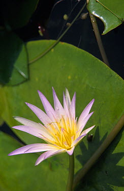 Lotus Water Lily (Nymphaea lotus) flowering in pond, medicinal and food plant, worldwide distribution, Cairo, Egypt  -  Hans Leijnse/ NiS