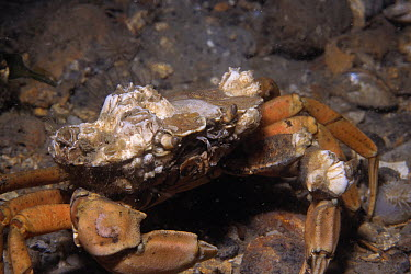 Common Shore Crab (Carcinus maenas) with barnacles growing on its shell, Europe  -  Hans Leijnse/ NiS