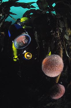 European Edible Sea Urchin (Echinus esculentus) feeding on kelp being inspected by a scuba diver, Europe  -  Hans Leijnse/ NiS