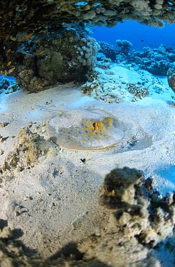 Blue Spotted Fantail Stingray (Taeniura lymma) hidden in sand on sea floor, Red Sea, Egypt  -  Hans Leijnse/ NiS