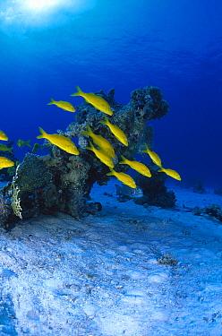 Yellow Goatfish (Mulloidichthys martinicus) school swimming underwater, Bonaire, Netherland Antilles  -  Hans Leijnse/ NiS