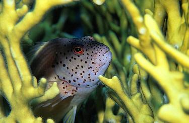 Arc-eye Hawkfish (Paracirrhites arcatus) hiding among coral, Indo-Pacific  -  Hans Leijnse/ NiS