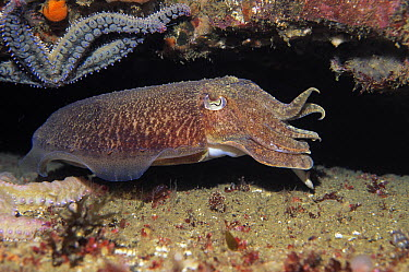 Common Cuttlefish (Sepia officinalis) swimming, Europe  -  Hans Leijnse/ NiS