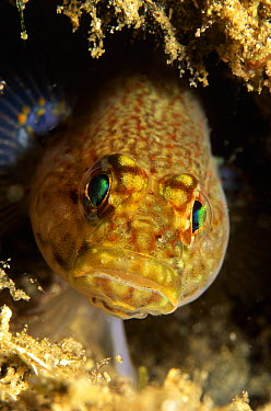 Golden Goby (Gobius xanthocephalus) close up of adult peering out from protective reef, east Atlantic and Mediterranean Sea  -  Hans Leijnse/ NiS